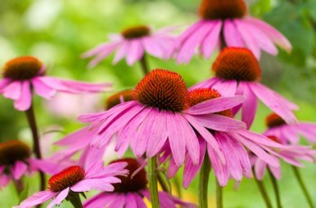 The best Natural Antibiotics: Echinacea, Ginger and more